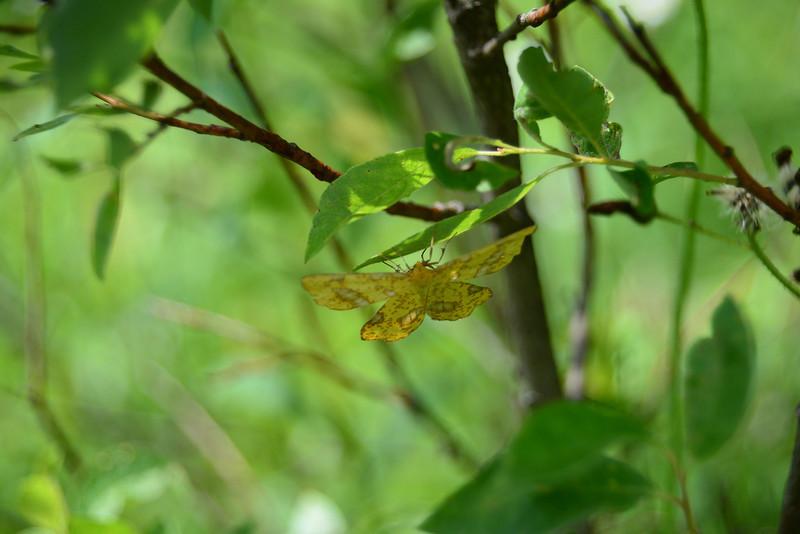 False Croucus Geometer moth
