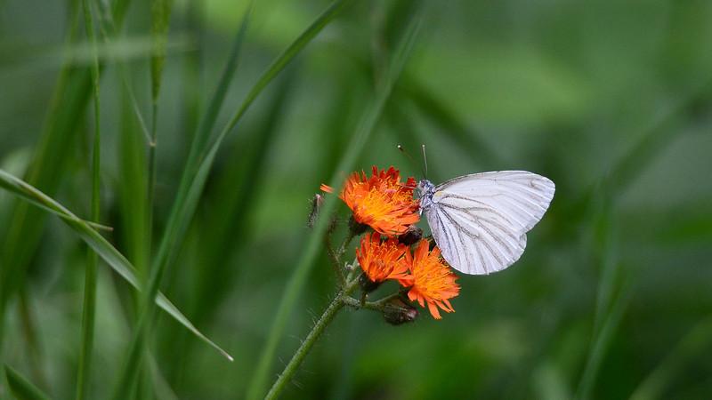 Mustard White (spring)