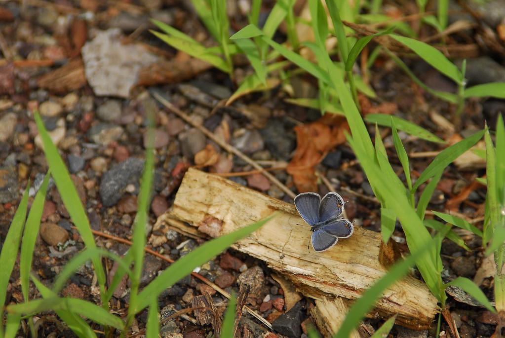 Eastern Bluetail