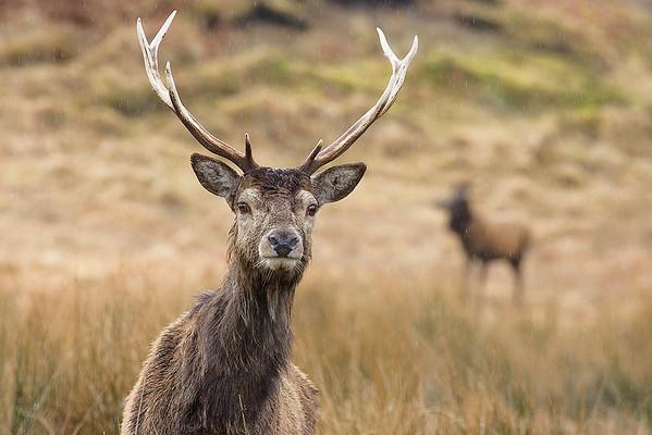 Deer in Rain