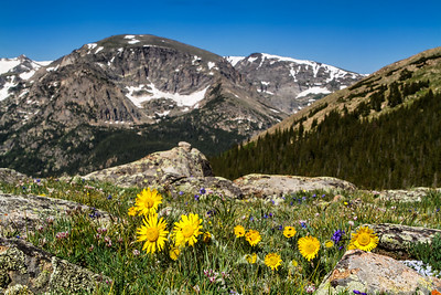RMNP Wildflowers-140706-8156-Edit