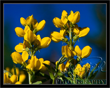 RMNP Yellow wildflower