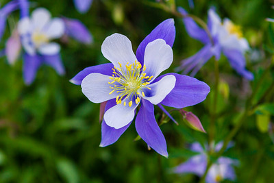 Columbine - Colorado State Flower