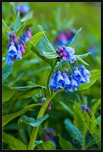 Ring Ring.  This is the Bluebells Wildflower.  I took this at Yankee Boy Basin just outside of Ouray Colorado.   There were larger patches of this wildflower when i was there.  the clustering is interesting as well sat the colors.