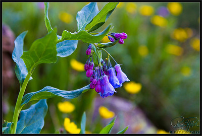 Bluebells at Yankee Boy Basin