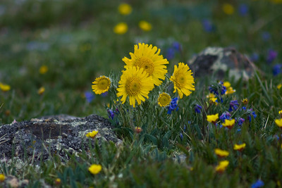 Rocky Mountain National Park Wildflower
