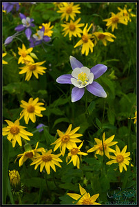Columbine and Aspen Sunflower