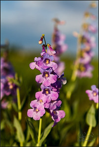 Orchid Beardstongue