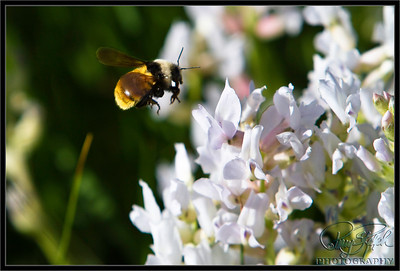 Flight of the Bumble Bee.  I was in RMNP trying to capture the elusive wildflower, mountain, blue sky photo.  I was in this patch of Rocky Mountain Loco Weed wildflowers when i was buzzed by a bumble bee.  This was a big bee.  I followed him around which wasn't easy and captured a number of photos.  Getting the bee in focus was difficult as he was flying around.