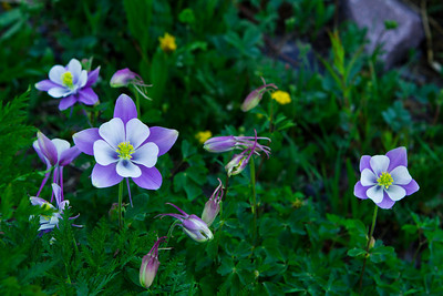 Columbine Cluster. This photo was taken at Yankee Boy Basin just outside of Ouray, CO.  The Columbine is the Colorado State Flower and can be found all over the moutains during end of June and early July.  The cluster caught my eye with the wonderful  blue color and the yellow.  Yankee Boy Basin is at about 10,000 feet and was burstiing with wildflowers this week.