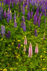 North Shore Wildflowers - Lupine