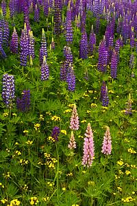 North Shore Wildflowers - Lupine