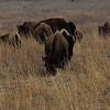 Bison herd.