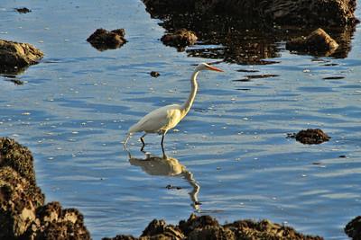 Egret near San Simeon, CA
