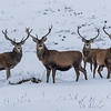 Group of Stags