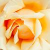 A Velvet Rose