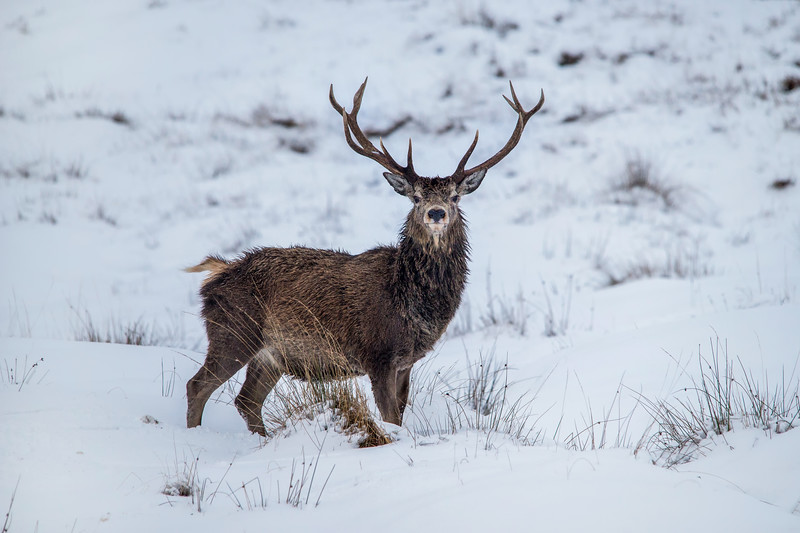 Cold Red Stag