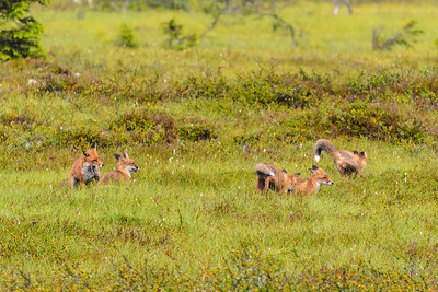 Frolicking foxes