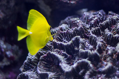 Yellow Fish (As seen in the Seattle Aquarium Flickr Favorites)