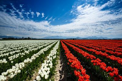 Tulips & Stripes