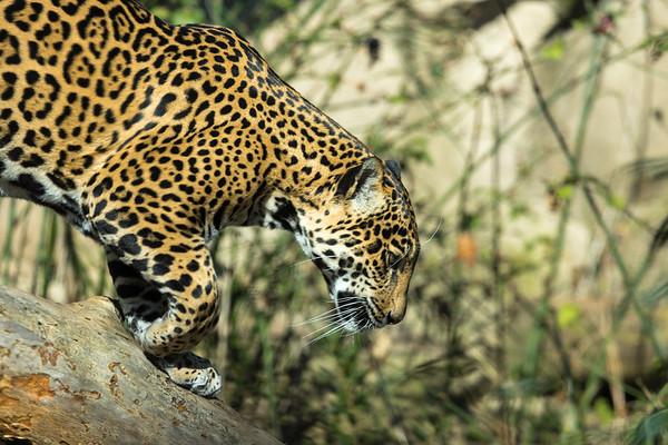 2013 Jaguar WPZ