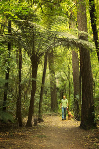 Whakarewarewa Forest, Rotorua, North Island, New Zealand: In the Coastal Redwood forest outside Rotarua Silver Tree Ferns grow tall.