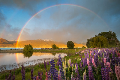 Aoraki/Mount Cook National Park, South Island, New Zealand: A rainbow arches over the lupins lining Lake Pukaki in Springtime.