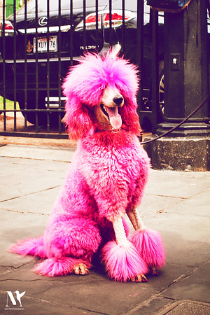 The Pink Poodle Project