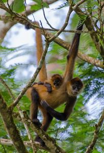 Geoffroy's spider monkey, Rio San Juan