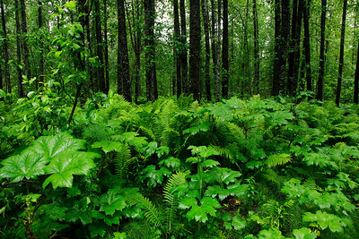 Alaska Ferns growing on the floor of a forest north of Anchorage, Alaska.