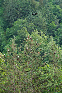 Juneau, Alaska Bald Eagles hang out in their favorite tree near the harbor in Juneau. Counting the one flying overhead, I count 16 bald eagles in these trees.