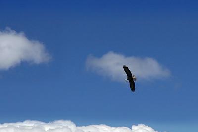 Ketchikan, Alaska A bald eagle soaring above the Inside Passage near Ketchikan.