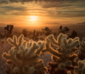 California, Joshua Tree National Park: Sunrise at the Cholla Garden.