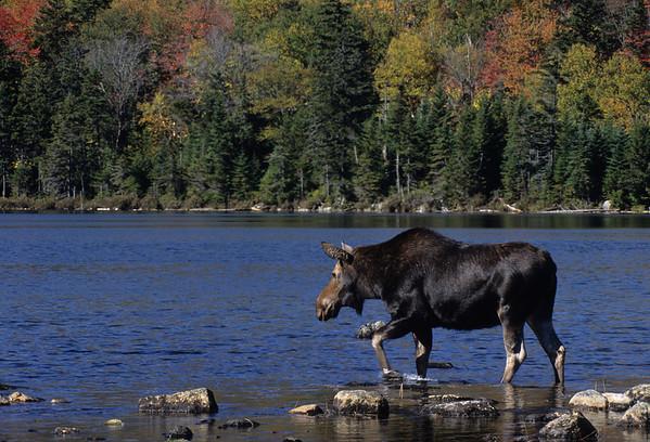 Moose at Baxter State Park