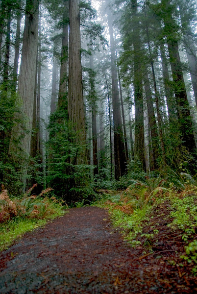 Redwoods #2, Sonoma County, CA