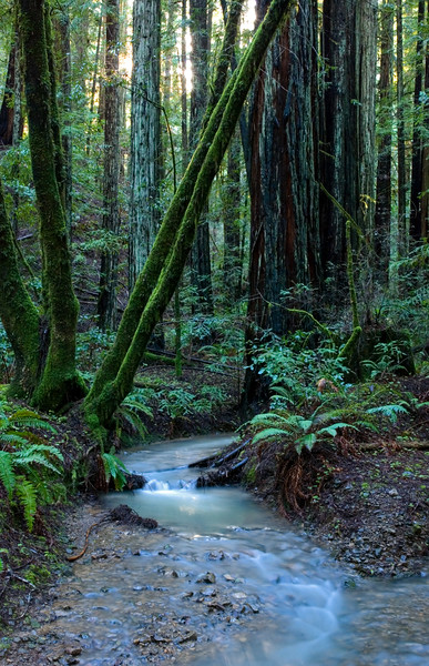 Armstrong Redwoods State Park, Sonoma County, CA