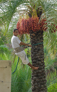 a young Omani climbing a pam tree