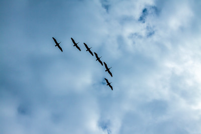 Pelicans fly on the Big Sur road