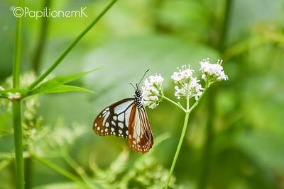 @PapilionemK