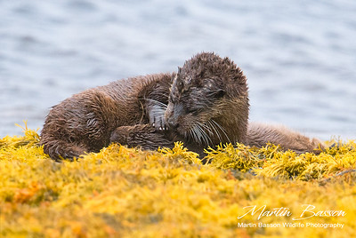 Female Otter suckles her kit