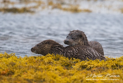 2 Otter kits, Loch Scridain, Mull