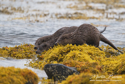 Female Otter with 2 Kits