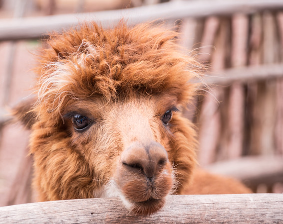 Al Paca from the Sacred Valley