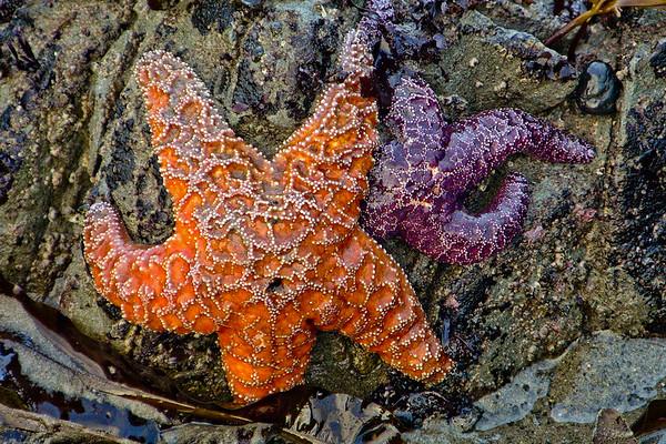 Starfish Pair