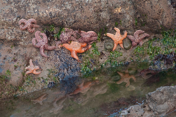 Starfish along Olympic Coast