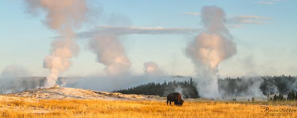 Old Faithful Bison