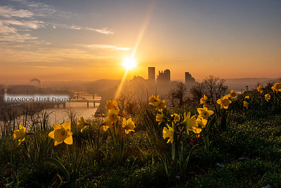 Pittsburgh Daffodil