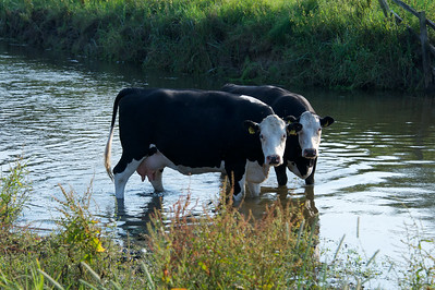 cows having a drink