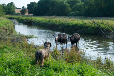 Cows and briard