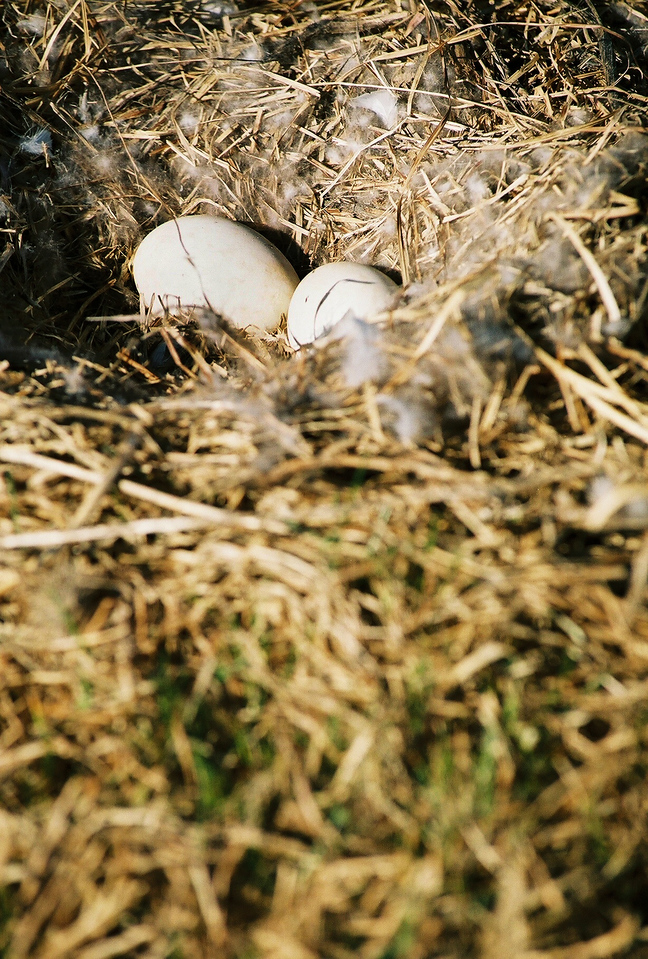 Goose eggs everywhere during the spring. 